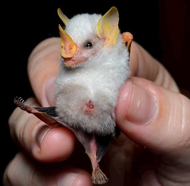 Honduraški bijeli šišmiš koji nema rep