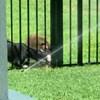 Žena je snimila susjedove pse koji su bili oduševljeni njenom prskalicom za travu, ovo je urnebesno
