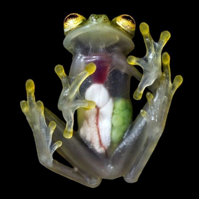 Prozirna žaba