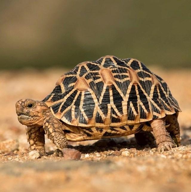 Za zaštitu ove kornjače donesen je poseban zakon