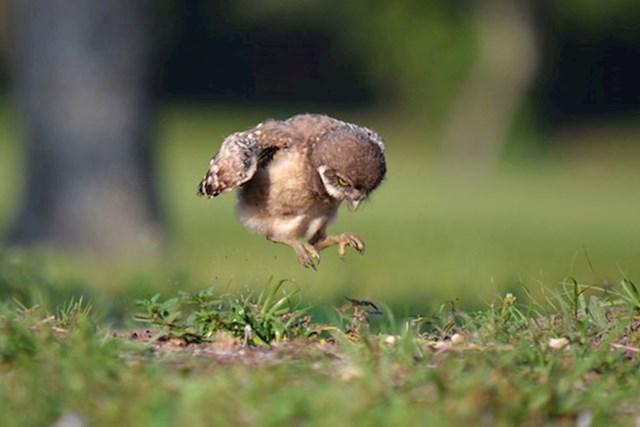 Sovica uči letjeti