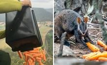 Preživjele životinje u Australiji sada umiru od gladi, pa im bacaju povrće iz zraka