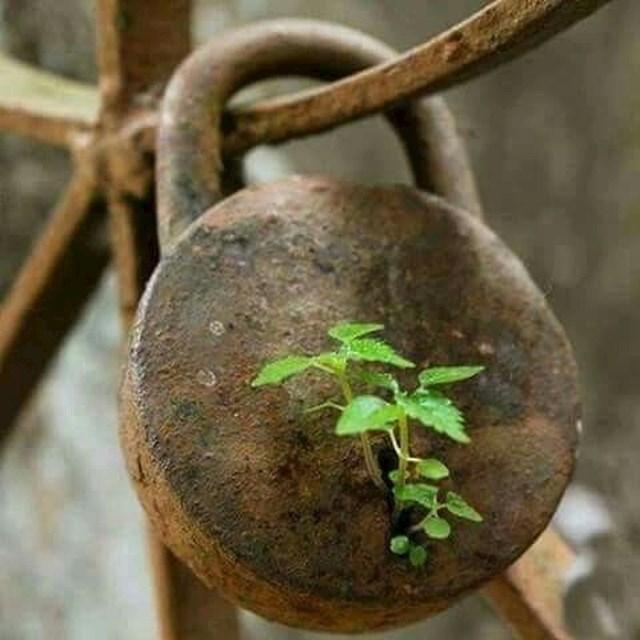 Biljka raste iz starog lokota