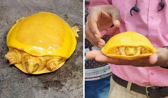 Žuta kornjača iz Indije