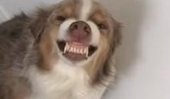 Vlasnica je snimila svog psa koji je znao da je nešto skrivio, ovo je urnebesno