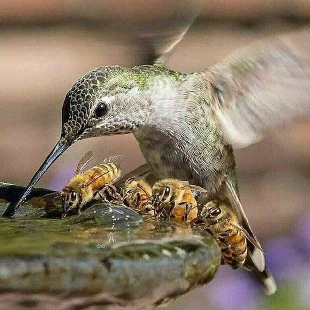 Kolibrić i pčele zajedno piju vodu