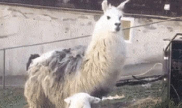 Lik je došao na farmu ljama, zbog onog što je ugledao skoro je zaplakao od smijeha