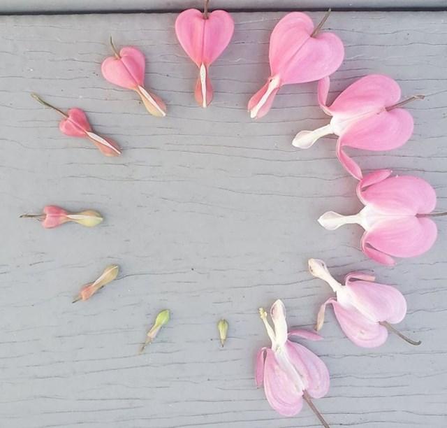 Cvijet srdašce, izvorno raste u Sibiru, Kini, Koreji i Japanu