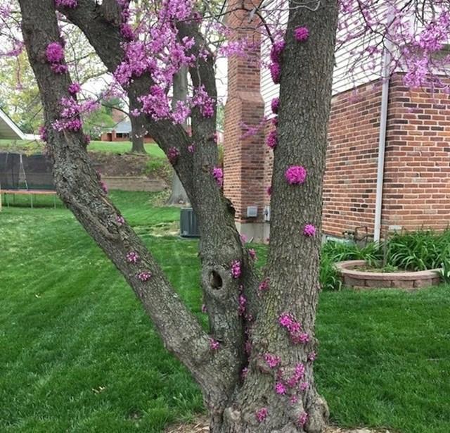 Ovo stablo u St. Louis u Missouriju ima cvijeće po granama i po deblu