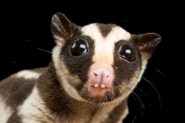 Prugasti oposum