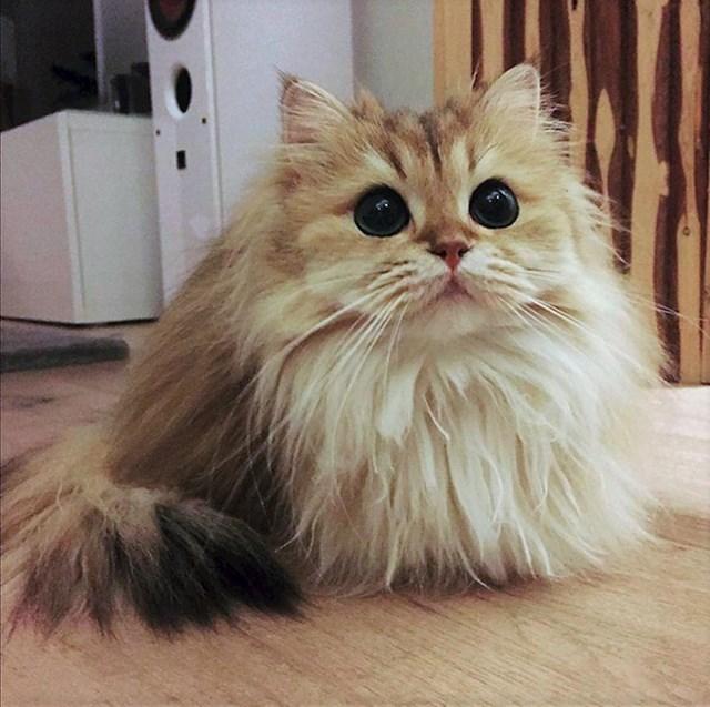Britanska dugodlaka mačka