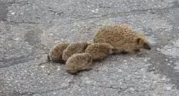 Mama i njene bebe prelazile su cestu, netko je to snimio