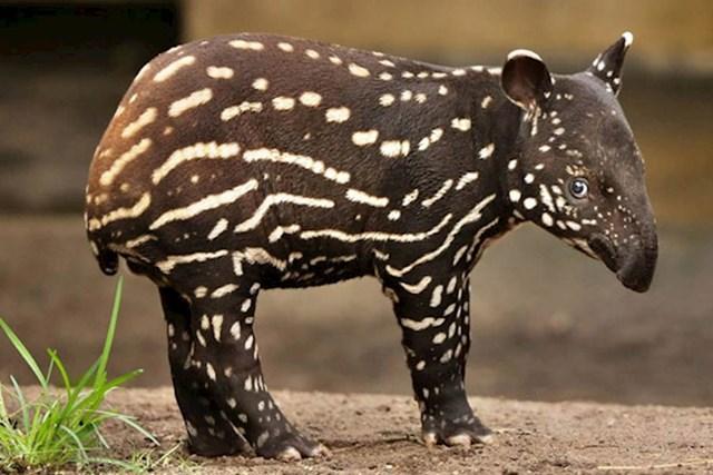 Maleni tapir