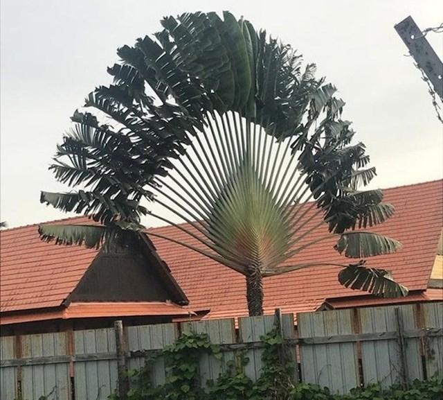 Palma koja izgleda poput paun