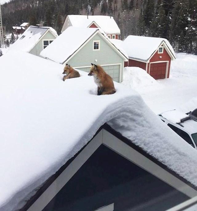 Samo dvije lisice na krovu...