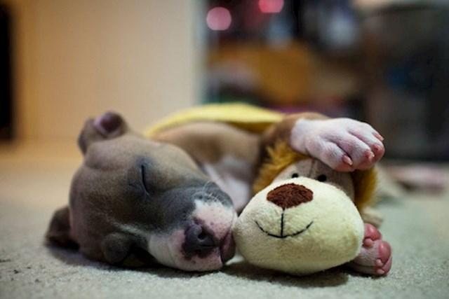 Ovaj maleni pas ne odvaja se od svoje igračke