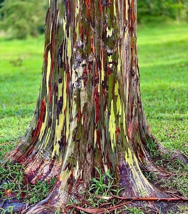 Ovo stablo nije obojano, to je drvo koje zove dugin eukaliptus