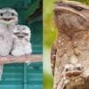 20 slika nevjerojatno slatkih i smiješnih žaboustih ptica