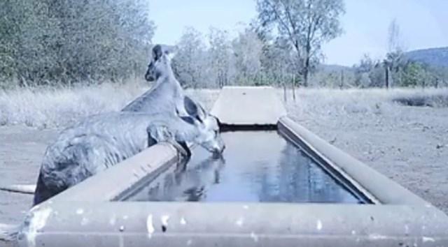 Farmer u Australiji postavio je vodu za gladne životinje.