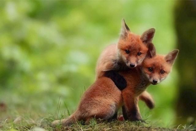Malene lisice u igri