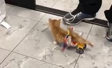 Ovaj video mace koja je prvi put prohodala pomoću invalidskih kolica vratit će vam vjeru u ljude