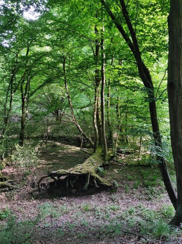 Stablo je palo, ali mu je korijenje još u zemlji i ono je nastavilo živjeti