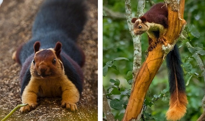 Ove ogromne vjeverice iz Indije izgledaju kao da su pojele previše bakinih kolačića