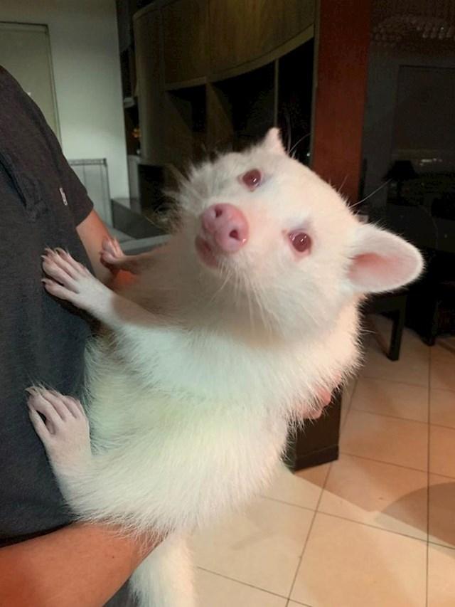 Albino rakun