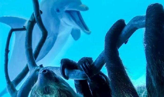 U jednom akvariju stavili su ljenjivca ispred nastambe s dupinima, oni su se potpuno oduševili