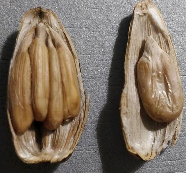 4 sjemenke suncokreta u jednoj ljusci