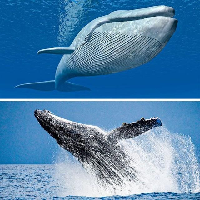 Srce plavetnog kita može kucati dva puta u minuti