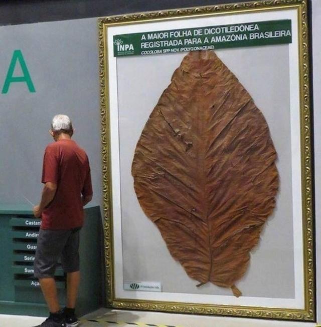 Najveći list dvosupnice ikad pronađen u Amazoni