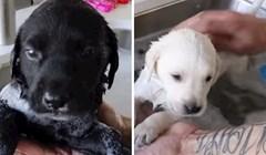 VIDEO Prvi kupanac ovih beba labradora uljepšat će vam dan