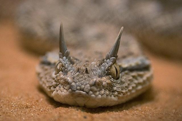 Saharska zmija