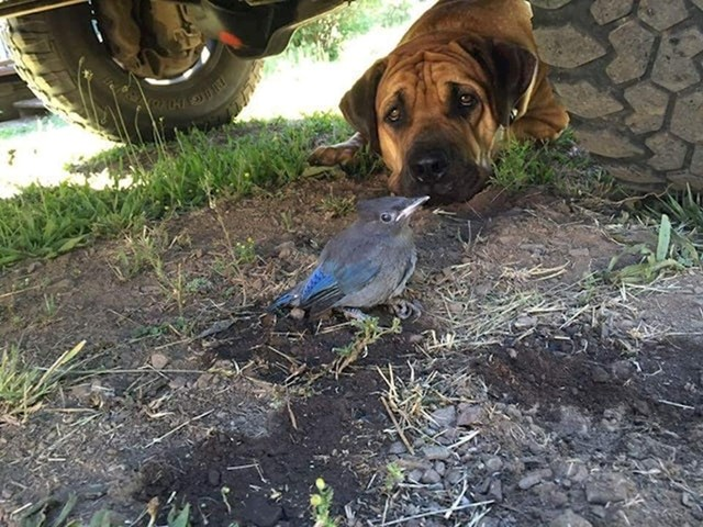 """""""Ležao je ispod mog kamiona i pazio pticu koja je imala ozlijeđeno krilo. Četiri dana su prošla dok nije odletjela. Nosio sam im hranu i vodu jer ju je odbijao napustiti. Jako sam ponosan na njega."""""""