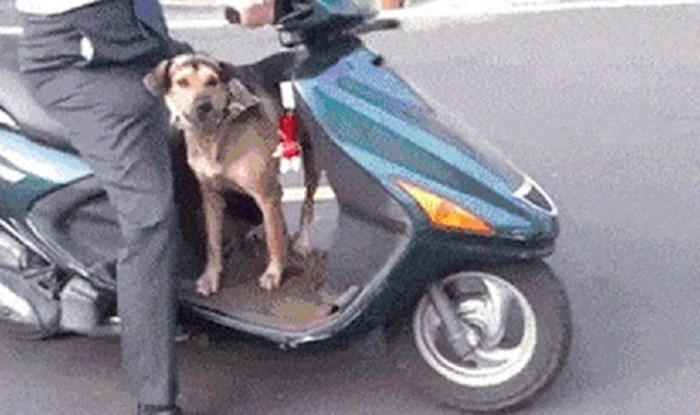 Ovaj pas glavna je faca, pogledajte kako reagira kada se ide voziti skuterom