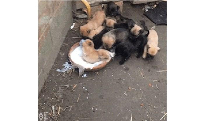 Morate vidjeti ove psiće kada su shvatili da je pred njima puna zdjela mlijeka