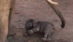 Beba slonić pokušava hodati, izgleda kao da je popio čašicu viška