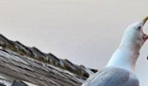 Čovjek je na krov kuće stavio lažnog jastreba kako bi plašio galebove, to je ispalo totalno krivo