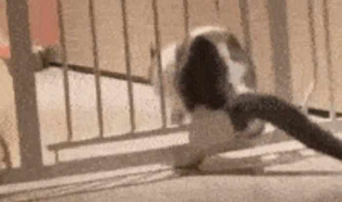 Ova mačka podcijenila je svoju težinu i prilično nasmijala vlasnike