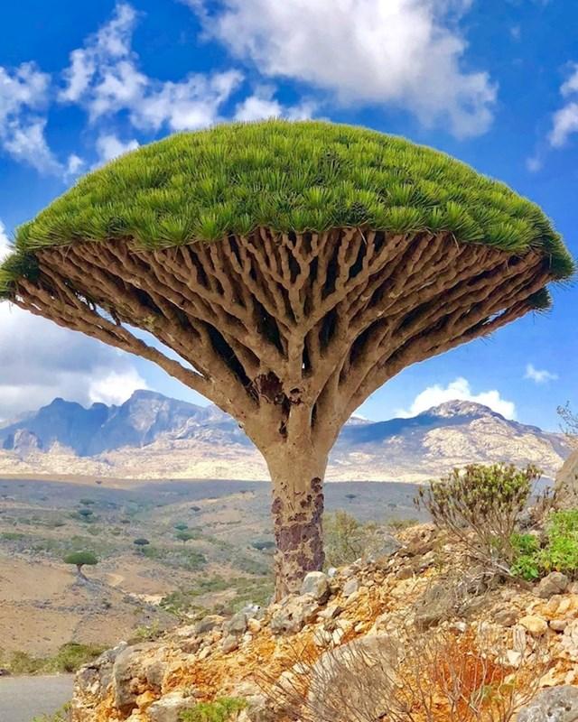 """Otok Socotra u Jemenu poznato je po svojim neobičnim """"krvavim"""" stablima"""