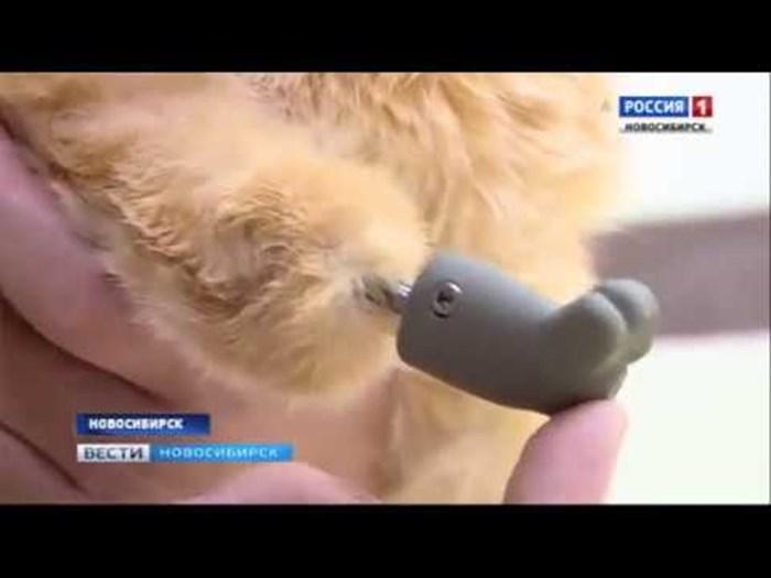 VIDEO Mačak koji je ostao bez šapica dobio je proteze pomoću kojih ponovno može hodati
