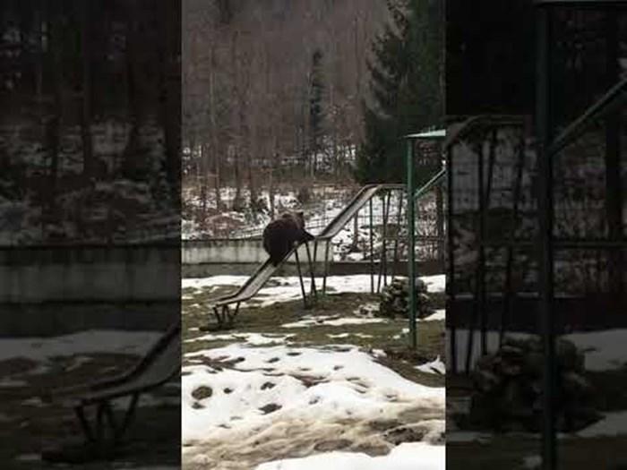 VIDEO Odrasli medvjed posjetio je dječje igralište, očevici su iz sigurne daljine primijetili zanimljiv detalj