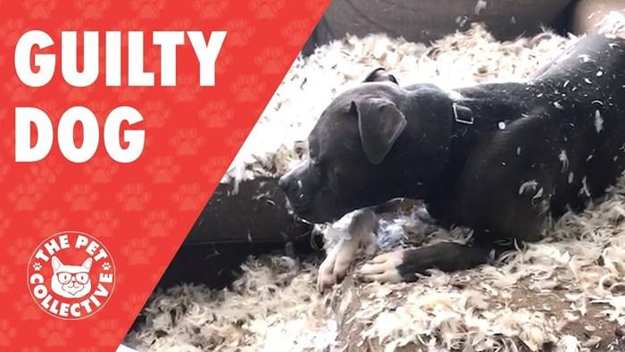 Nestašni pas rastrgao je jastuk i ne osjeća se nimalo krivim zbog toga