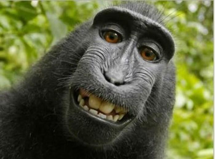 Majmun napravio 'selfie' - SLUČAJ ZAVRŠIO NA SUD ZBOG AUTORSKOG PRAVA FOTOGRAFIJE! - Najčudnije priče svijeta